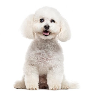 Spoil your Bichon Frise with these fabulous accessories!