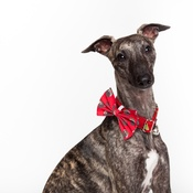 House of Paws - Christmas Pudding Dog Bow Tie