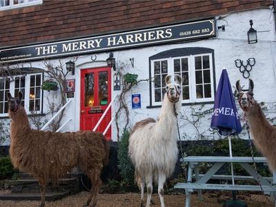 Merry Harriers, Surrey