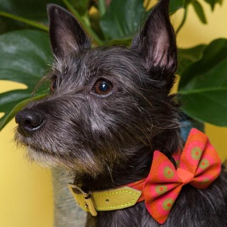 Kiwi Shweshwe Dog Bow Tie 3