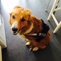 Cool Dog K9 Trek Harness in Black 4