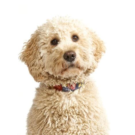 Sapphire Rose Dog Collar 5