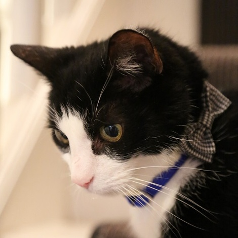 Cat Collar Bow Accessory - Puppy Tooth 2