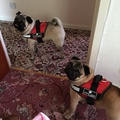 Cool Dog K9 Trek Harness in Red 4