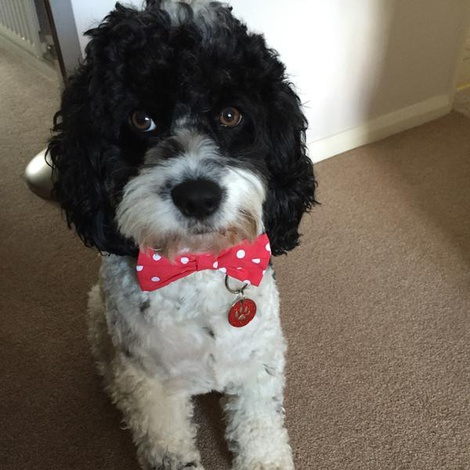 "Red Polka Bowtie Dog Collar 1"" Width 2"