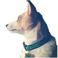 Irish Green Saddle Stitch Dog Collar 3