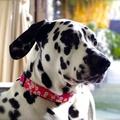 Sasha Liberty Print Dog Collar 2