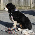 Deckchair Stripes Dog Lead  2