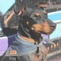 Hobo Denim Dog Bandana 2