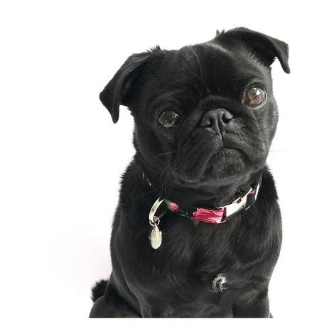 Dog Collar - Chelsea 2
