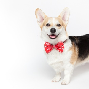 Discover the perfect accessories for your Corgi