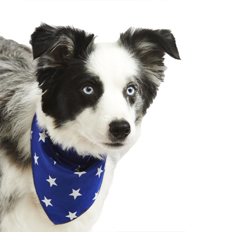 Blue Star Dog Bandana  2