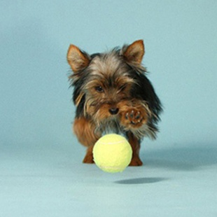 SHOP FOR YOUR YORKSHIRE TERRIER