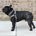 Grey Leather Dog Harness 3