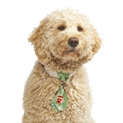 Pet Pooch Boutique - Gingerbread Dog Tie (Limited Edition)