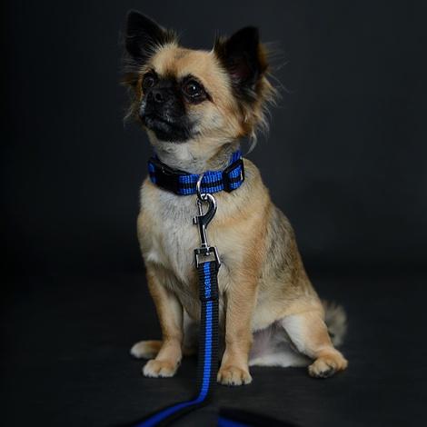 Blue Dog Collar 3