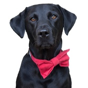 Dapper Pets - Red Velvet Dog Bow Tie