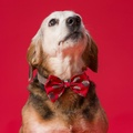 Santa Dog Bow Tie