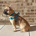 Blue Leather Dog Harness 2
