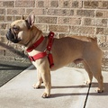 Red Cotton Webbing Dog Harness 3
