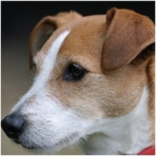 Parsons Jack Russell Terrier