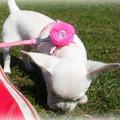 Ivory Dog Collar Flower 3