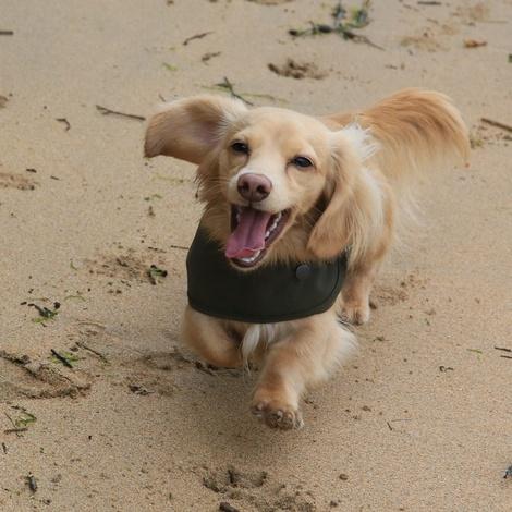 Sand Shetland Wool Waxed Dog Coat 4