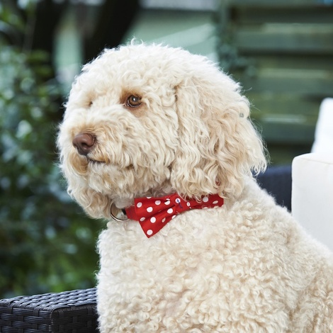"Red Polka Bowtie Dog Collar 1"" Width 4"