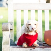 Teddy Maximus - Red Cable Knit Dog Jumper