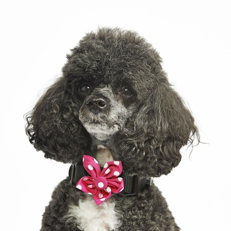 Pink Polka Flower Collar Accessory 2
