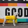Pawditch Yellow Dog Collar, Lead & Coat Set  8
