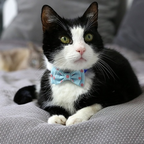 Cat Collar Bow Accessory - Polka Dot 2