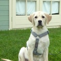 Grey Wool Dog Harness 2