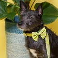 Neon Leapard Dog Bow Tie 3