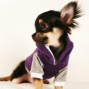 WHY WE LOVE CHIHUAHUAS