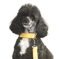 Yellow Polka Dot Dog Collar 3