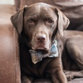 Blue Tartan Dog Bow Tie 2