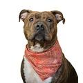 Paisley Cowboy Dog Bandana 2