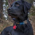The Beacon™ Red Currant - Dog Safety Light 4