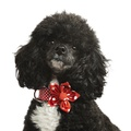 Red Polka Dot Collar with Flower Accessory 3