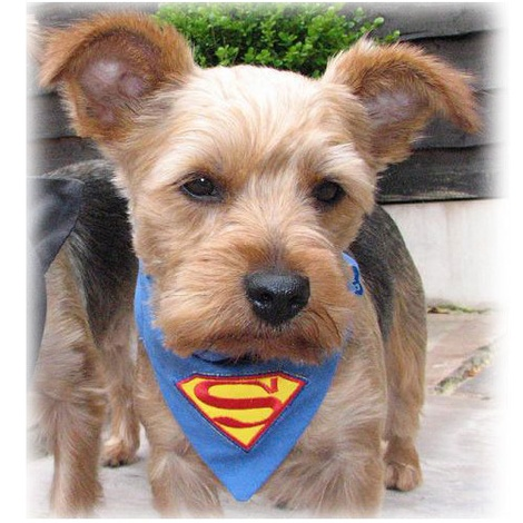 Superpup Superman Bandana 2