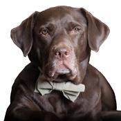 Dapper Pets - Brown Check Dog Bow Tie