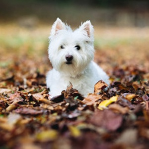 Let's celebrate the wonderful Westie! Fun facts and pictures
