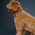 Red Dog Collar 4