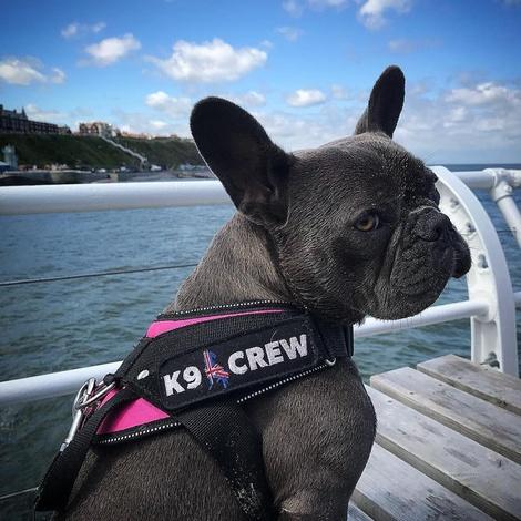 K9 Crew Harness Pink 2