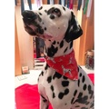 Dalmatian Spotty Dog Bandana - Red 2