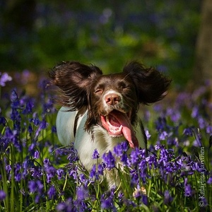 Spoil your Springer Spaniel with these fabulous accessories!