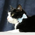 Cat Collar Bow Accessory - Polka Dot 3