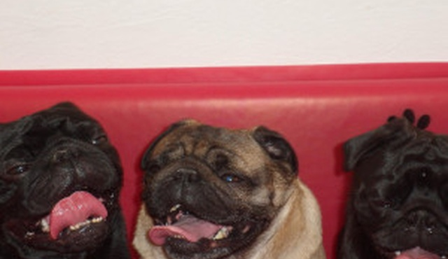 Pugs in a Tub 5