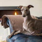 The Lounging Hound - Pure Wool Throw - Desert Stone